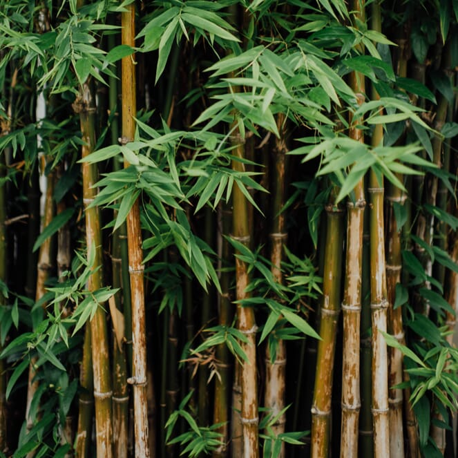Bamboo chutes and leaves.