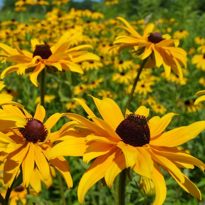 "A field of black-eyed susans, a flower which has bright, yellow petals and a spherical, brown center. The center has stamen that shoot off pointing toward the top. The stems are thick and have course ""hair""."