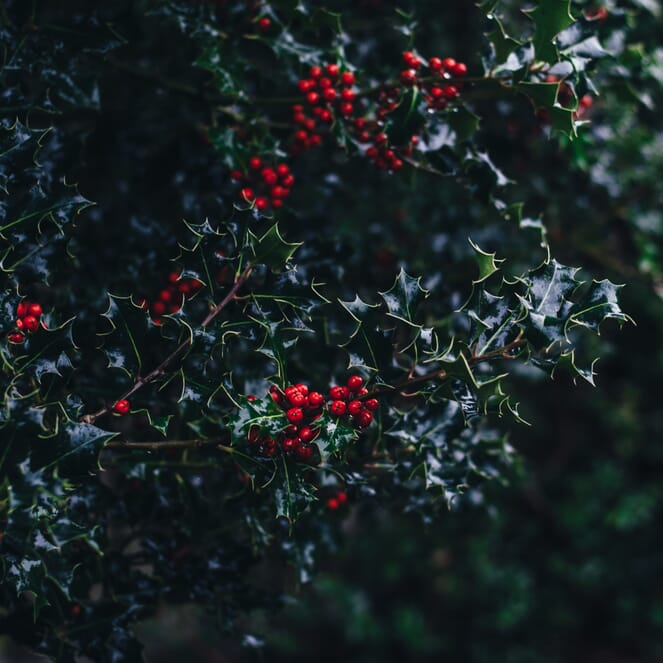 A holly bush in a dark, but inviting atmosphere.