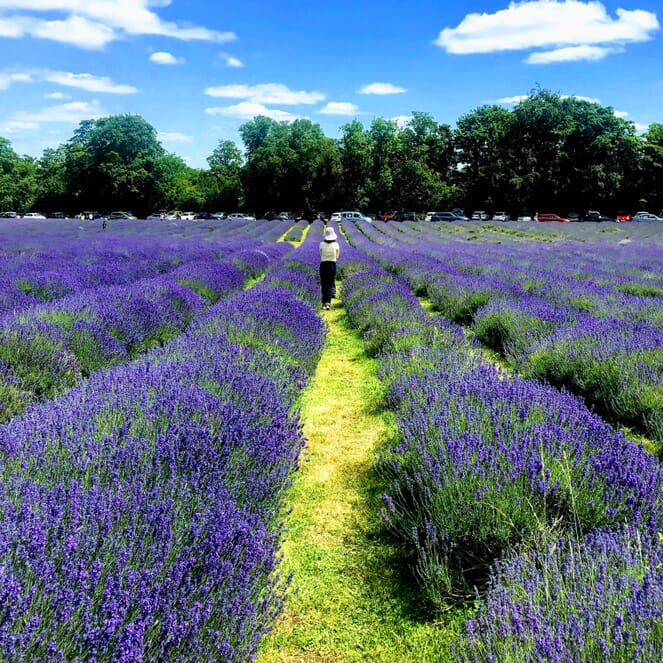 Rows of lavender plants span into the distance. At the end, there is a line of trees and cars. At the top of the image is a beautiful, picturesque sky with white, fluffy clouds.
