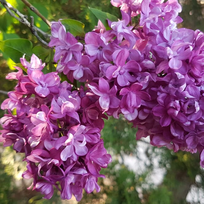 A clump of lilac hanging from a tree.