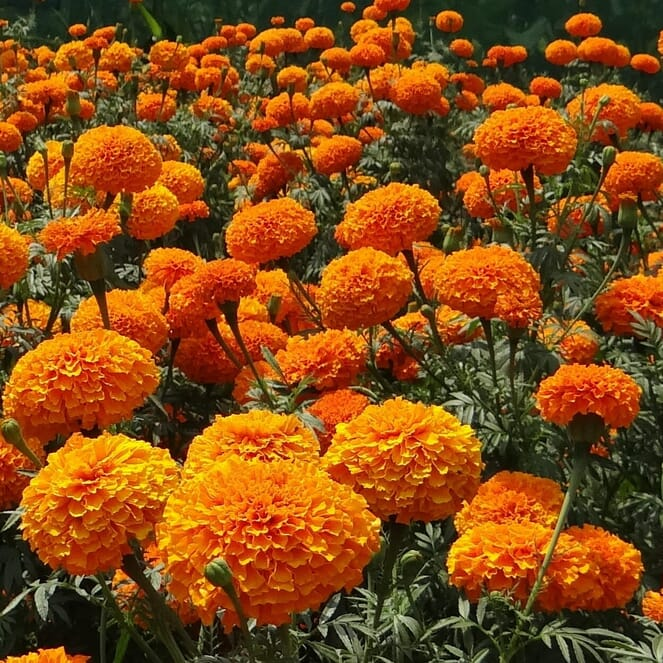 A field of bright, red-orange marigolds.