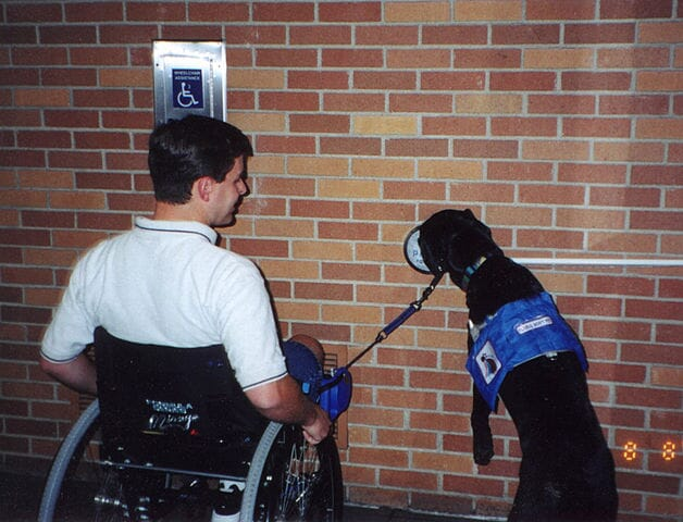 Emmet, a black lab, practices opening a powered door by pushing the button with his nose.